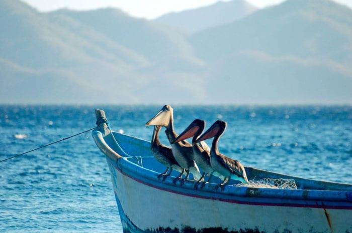 Pelikane - Kitereisen Kitesurfen Costa Rica